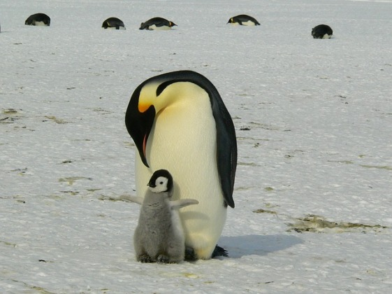 penguins-429134_640